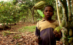 A child working on a cocoa plantation; Image via Twitter