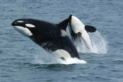 A group of scientists have asked the Canadian government to regulate shipping noise to protect local orca populations. (Image via Wikimedia Commons)